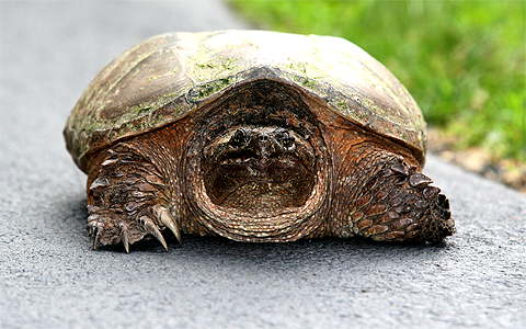 Scotia Snapping Turtle